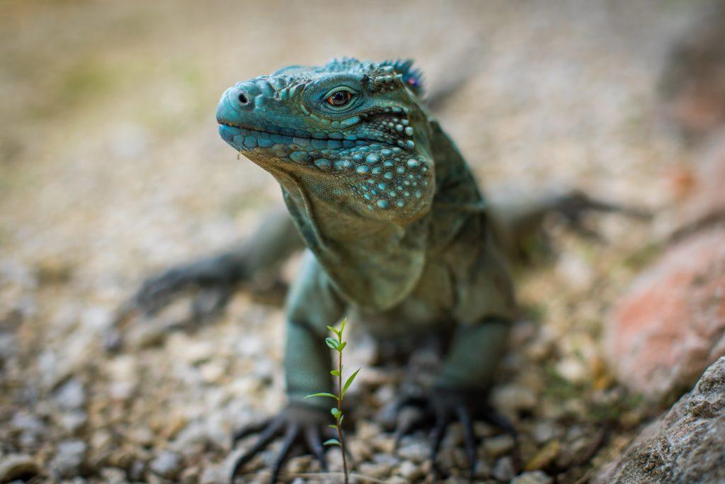 what to do grand cayman, botanical park, blue iguana