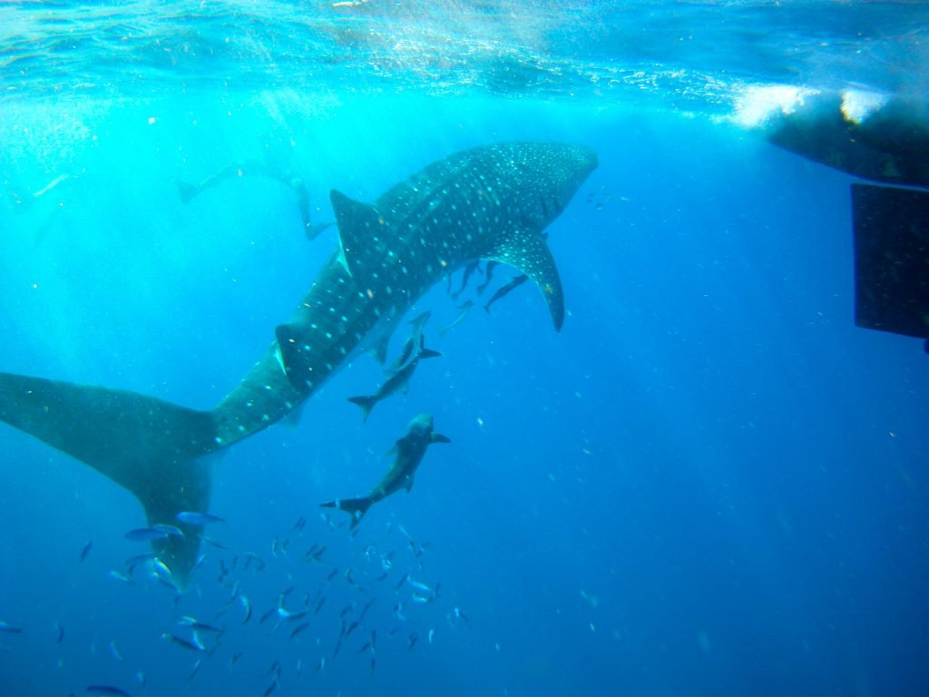 whale shark, adventure, tourism