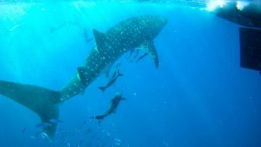 swim with whale sharks, adventure tourism, vacation, scuba, snorkel